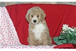 Picture of Grant / Toy Poodle