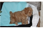 Picture of Hank / Toy Poodle