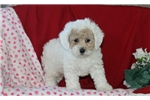 Picture of Gerry / Toy Poodle