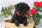 Picture of Frieda / Toy Poodle