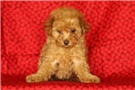 Picture of Violette / Toy Poodle