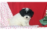 Picture of Flossie / Toy Poodle