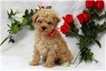 Picture of Frankie / Toy Poodle
