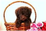 Picture of Riley / Toy Poodle