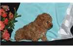 Picture of Harvey / Toy Poodle