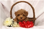 Picture of Gwen / Toy Poodle