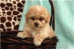 Picture of Pacey / Toy Poodle