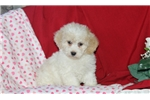 Picture of Faith / Toy Poodle