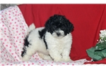 Picture of Fannie / Toy Poodle