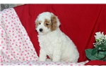 Picture of Garrett / Toy Poodle