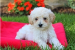 Picture of Jumper / Toy Poodle