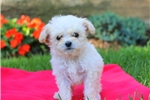 Picture of Jewel / Toy Poodle