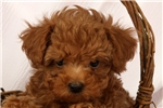 Picture of Gulliver / Toy Poodle