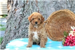 Picture of Annabelle / Toy Poodle