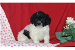 Picture of Freddy / Toy Poodle