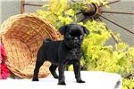 Picture of Abram / Pug