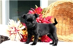 Picture of Anissa / Pug