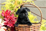 Picture of Aleda / Pug
