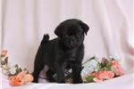 Picture of Marcus / Pug