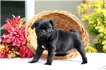 Picture of Ace / Pug
