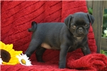 Picture of Nakita / Pug