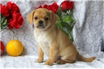Picture of Gilbert / Puggle