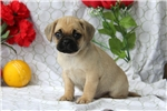 Picture of Ginger / Puggle