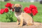 Picture of Gus / Puggle