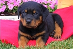 Picture of Nick / Rottweiler