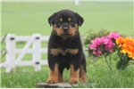 Picture of Dillon / Rottweiler