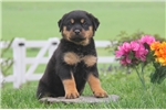 Picture of Doreen / Rottweiler