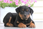 Picture of Alex / Rottweiler