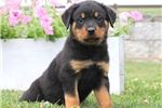 Picture of Archie / Rottweiler