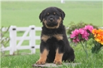 Picture of Daryl / Rottweiler