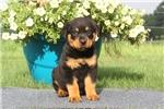 Picture of Benji / Rottweiler
