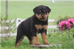 Picture of Dixie / Rottweiler