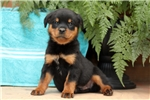 how to find reputable rottweiler breeders