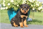 Picture of Buffy / Rottweiler