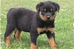 Picture of Alisha / Rottweiler