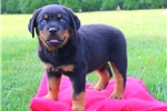 Picture of Neptune / Rottweiler