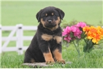 Picture of Dena / Rottweiler
