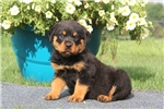 Picture of Barney / Rottweiler