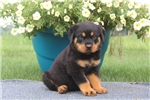 Picture of Bernie / Rottweiler