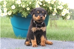 Picture of Beauty / Rottweiler