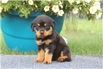 Picture of Brianna / Rottweiler