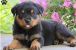 Picture of Eddie / Rottweiler