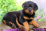 Picture of Norman / Rottweiler