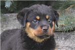 Picture of Becky / Rottweiler