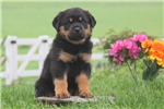 Picture of Daxton / Rottweiler