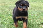 Picture of Austin / Rottweiler